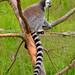 Lemur catta II