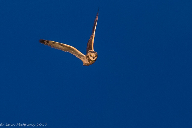 Short-eared Owl-6723.jpg, Canon EOS 7D MARK II, Canon EF 600mm f/4L IS