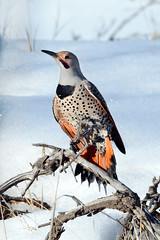 Northern Flicker (Explored)