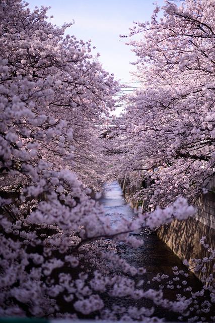 Cherry Blossoms @ 神田川, Nikon D810, AF-S Nikkor 58mm f/1.4G