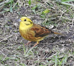 Yellowhammer - Clara Vale Ponds