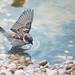 Gorrión común (Passer domesticus) / House sparrow