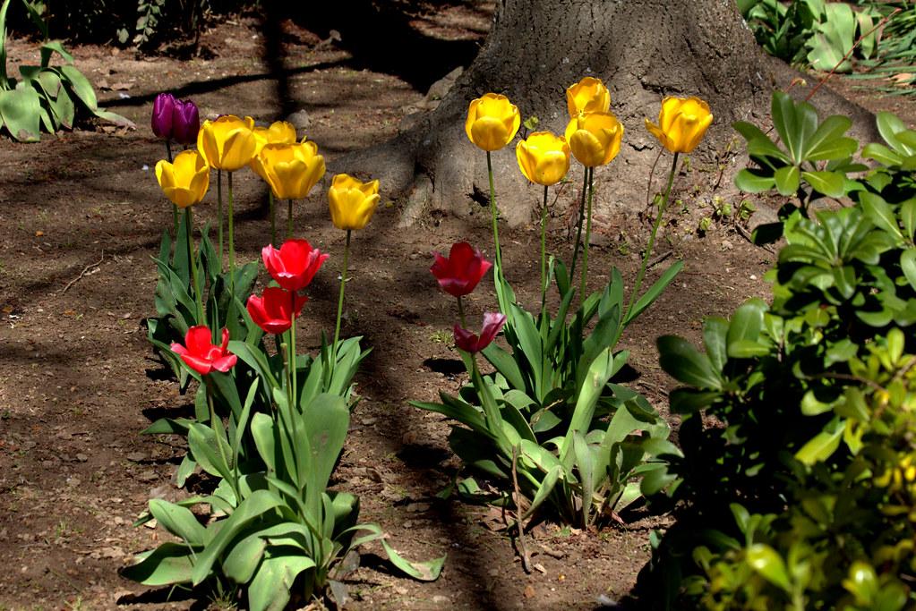 en una mañana de abril; tulipanes