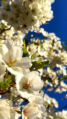 Cherry Blossoms @ Flushing Meadows Corona Park VI