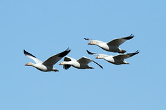 Chen caerulescens (Snow Goose) - WA, USA.