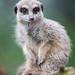ROG_7529b Meercat