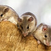 Turkish Spiny Mice