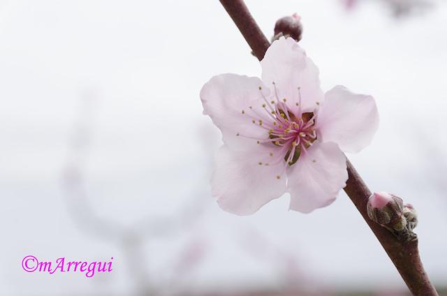 El almendro en flor
