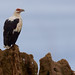 Palm-nut Vulture (Michael Lorentz)