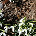 Bee on snowdrop flowers (2) by .JCM.