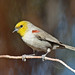 Verdin on Vernal Equinox