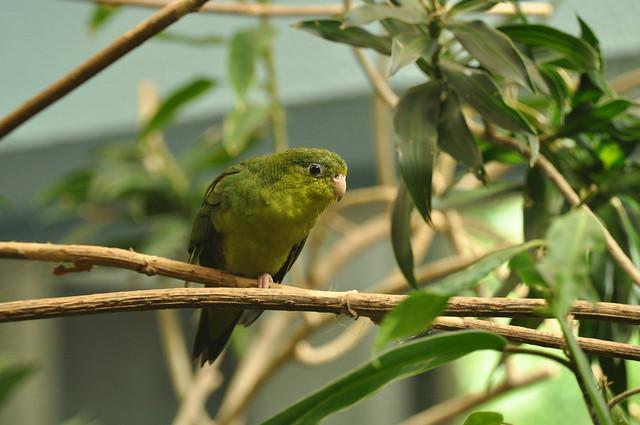 Bolborhynchus lineola - Barred Parakeet