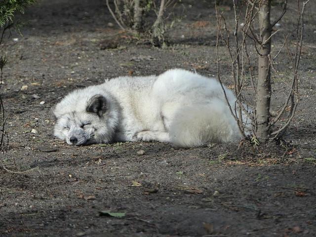 Polarfuchs, Zoo Duisburg