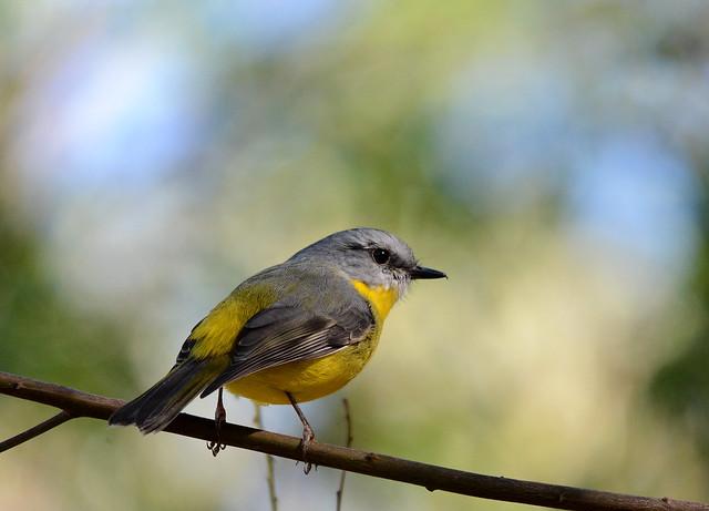 Eastern Yellow Robin, Nikon D7100, Sigma 150-500mm F5-6.3 DG OS APO HSM