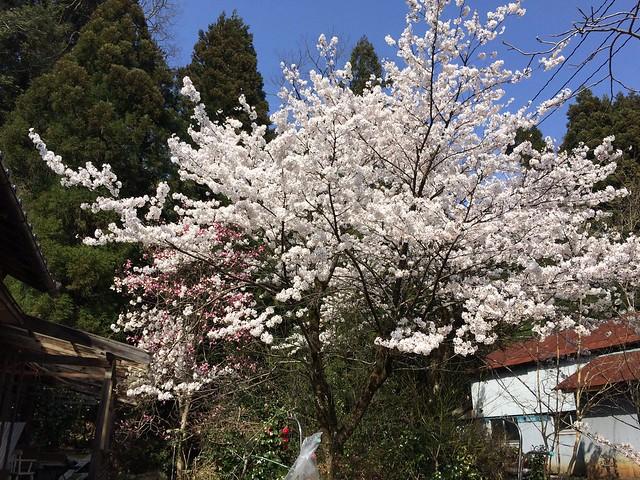 Kanazawa Cherry blossom full bloom