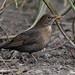 Blackbird, (Turdus merula).