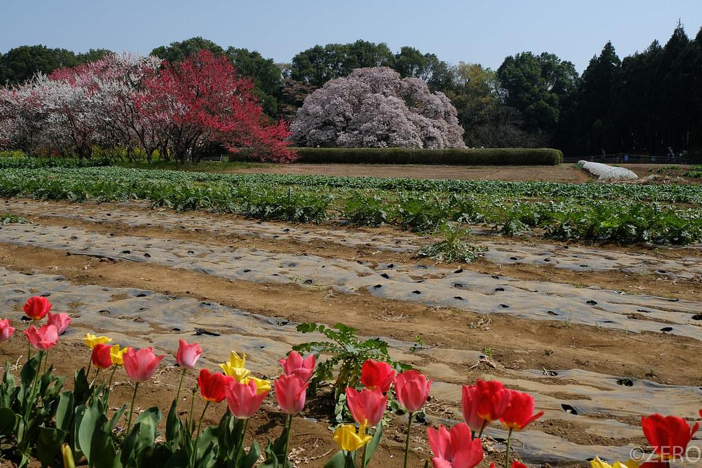 吉高の大桜-0329.jpg