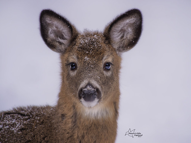Young Whitetail Deer