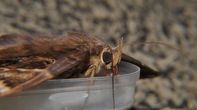 After Big night white spotted Owl moth Erebus sp aff crepuscularis Erebinae Erebidae on door mat Airlie Beach P1220961