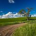 Palouse Tree