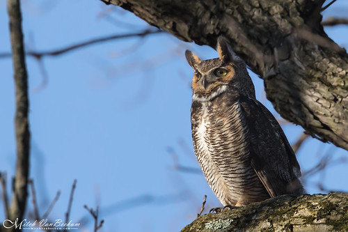 Quite a Hoot! (Great Horned Owl)