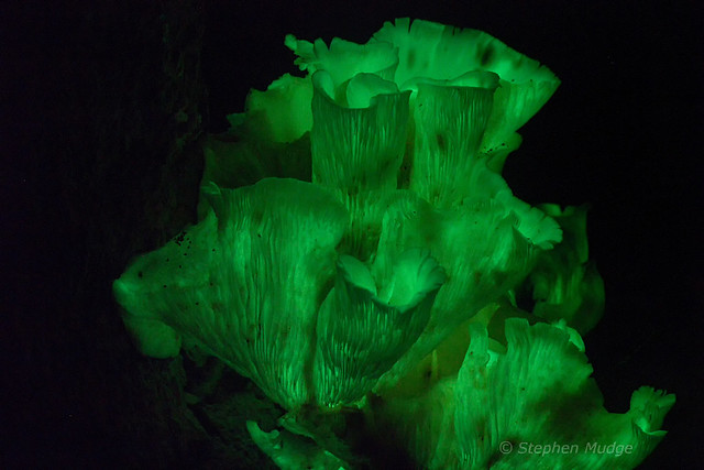 Ghost Fungus 24Mar18 bioluminescence