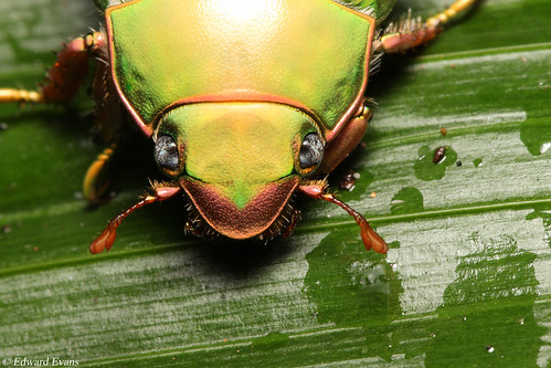 Jewel scarab beetle (Chrysina cusuquensis)