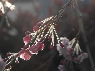 枝垂れ桜 3.28-2