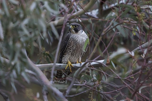 Peregrine Falcon, Morialta Conservation, Canon EOS 7D MARK II, Canon EF 500mm f/4L IS II USM