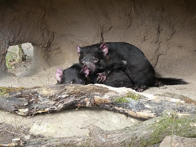 Beutelteufel, Zoo Duisburg
