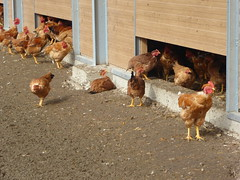 Licques volailles elevage de poulets - Photo of Licques