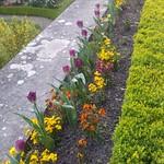 ภาพของ Jardin français. tulipe saintcloud