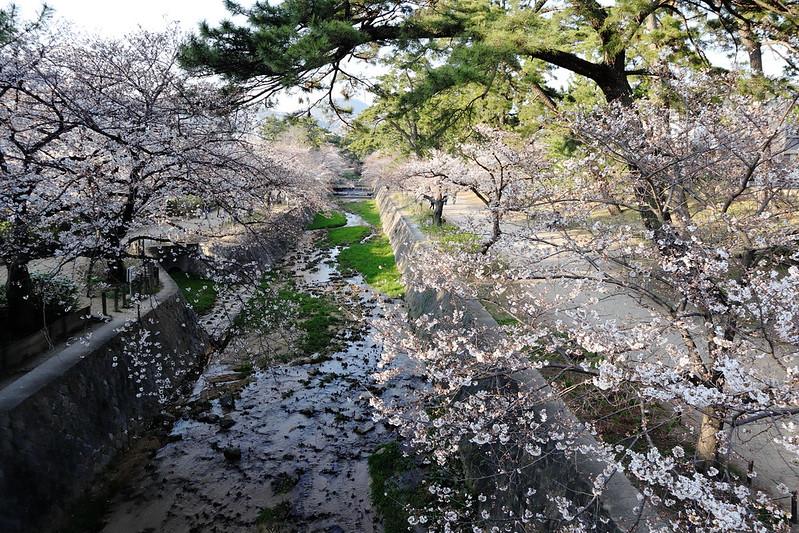 shukugawa sakura01