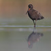 spotted redshank (peter csonka)