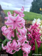 风信子 Hyacinthus Orientalis