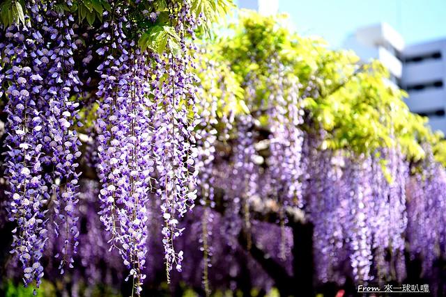龜戶天神社紫藤花33
