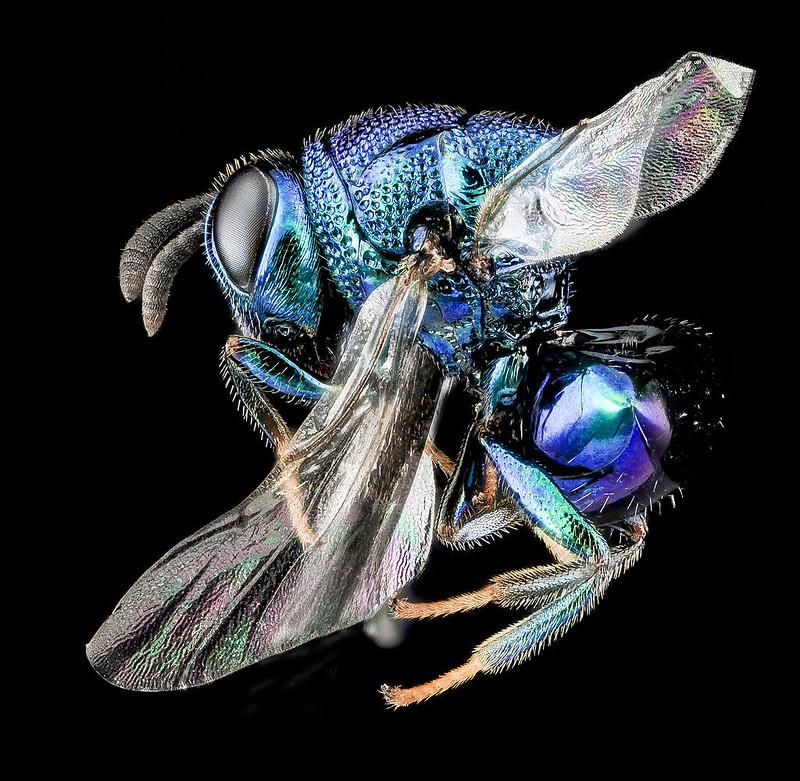 Figure 4 Perilampid wasp