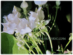 Large white cup-shaped flowers of Vallaris glabra (Bread Flower, Kerak Nasi and Bunga Kesidang in Malay), March 15 2018