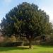 Hotham Tree