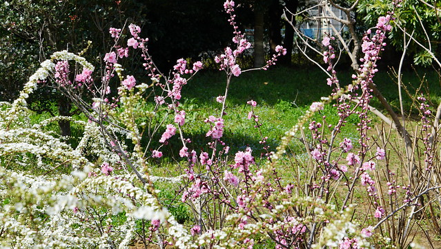 DSC07394花菜ガーデン