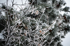 Frozen Branches - Running Springs, California