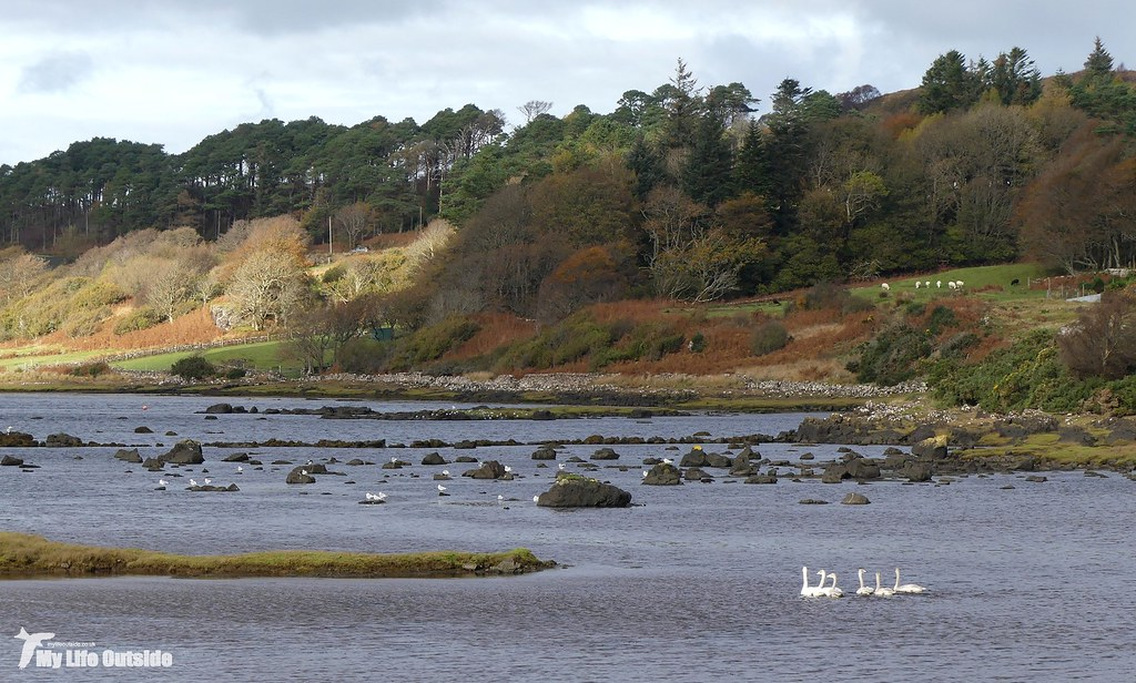 P1120822 - Whooper Swans, Isle of Mull