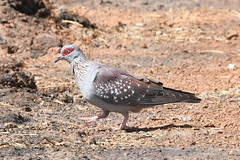 Speckled Pigeon.