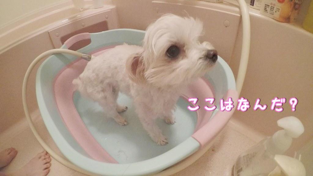 マルプーはるをお風呂でシャンプーする