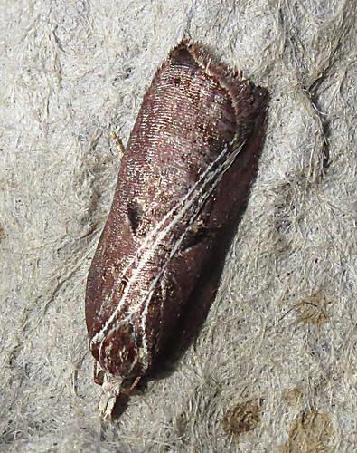Acleris cristana Tophill Low NR, East Yorkshire March 2018