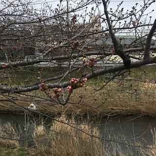 矢那川の桜 3月19日