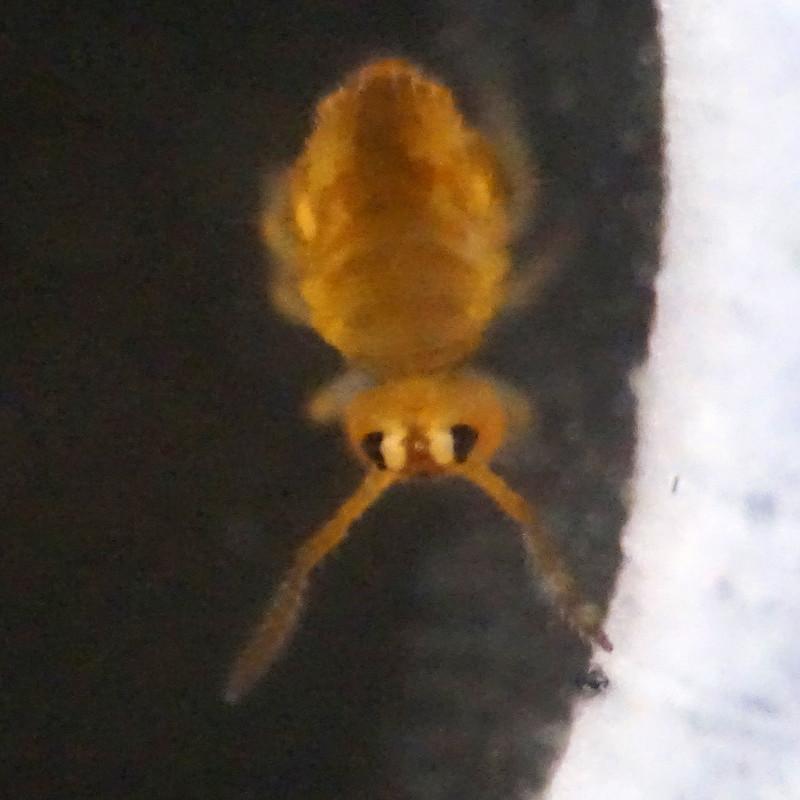 Sminthurinus aureus