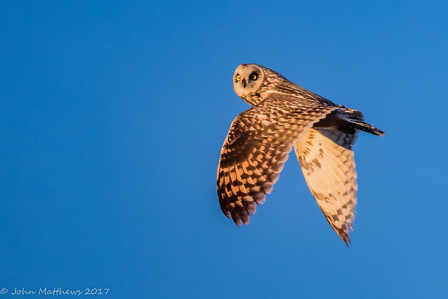 Short-eared Owl-6678.jpg, Canon EOS 7D MARK II, Canon EF 600mm f/4L IS