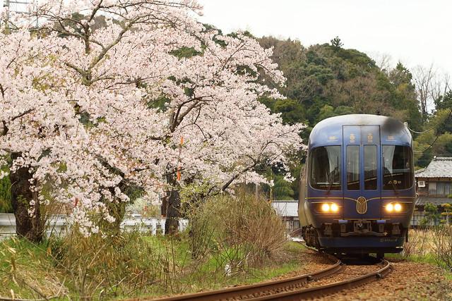 Express run beside sakura trees
