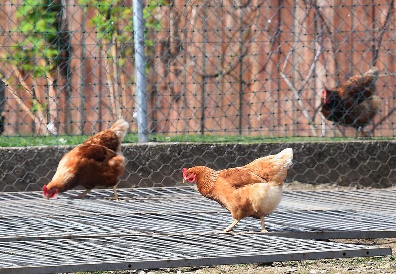 Chicken 15.04 (3)